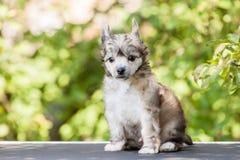 Kines krönad hund arkivbild