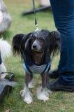 Kines krönad hund arkivfoto