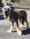 Kines krönad hund hundar husdjur royaltyfria bilder