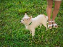 Kines krönad hund på ett gåanseende bredvid de kvinnliga benen royaltyfri foto