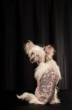 Kines krönad hundstående i studio royaltyfri bild