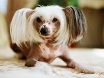 Kines krönat ligga för hund royaltyfria bilder