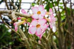 Kines steg, den rosa hibiskusen, rosa färgblomman, Champaca Royaltyfria Bilder