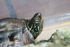 Kines three-keeled dammsköldpadda royaltyfri bild