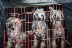 Kines tre krönade hundkapplöpninghundkapplöpning som fångades i deras bänk under th royaltyfri fotografi