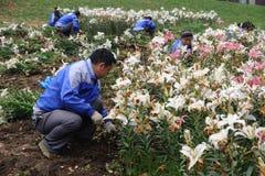 Kinesisk arbetare som planterar blommor Arkivbild