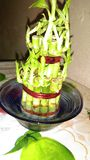 Kinesisk bambu Royaltyfri Bild