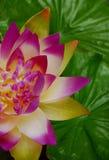 kinesisk blomma Arkivfoto