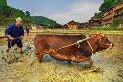 Kinesisk bonde som plogar en risfält genom att använda den röda dragande makten arkivbilder
