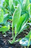 Kinesisk broccoli eller kinesisk grönkål som växer i trädgård Arkivfoto