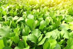 Kinesisk broccoli, gröna sidor av den organiska grönsaken i lantgård arkivbild