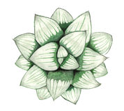 Kinesisk färgpulverhandmålning av den suckulenta växten Royaltyfri Foto