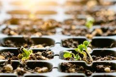 Kinesisk grönkål för ung växt i plantamagasin på dag för fallande regn royaltyfri fotografi