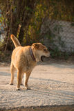 Kinesisk gul hund Royaltyfria Bilder
