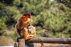kinesisk guld- apa Fotografering för Bildbyråer