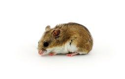 kinesisk hamster Royaltyfria Bilder