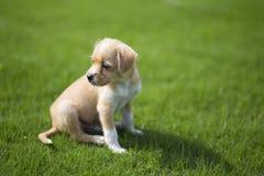 Kinesisk herde- hund Royaltyfria Foton