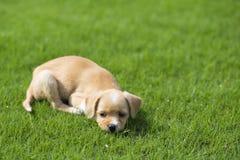Kinesisk herde- hund Arkivfoton