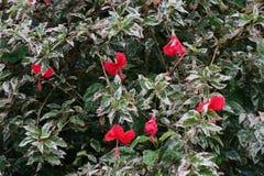Kinesisk hibiskusbuske för vit drottning med röda blommor Arkivfoton