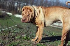 Kinesisk hund Royaltyfri Bild