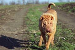 Kinesisk hund Arkivfoton