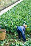 kinesisk kalegrönsak Arkivfoto