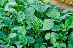 Kinesisk kalegrönsak i trädgård Royaltyfri Bild