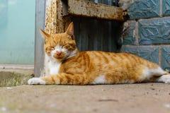 Kinesisk katt - Drake-Li Arkivfoto