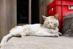 Kinesisk katt - Drake-Li Arkivbild