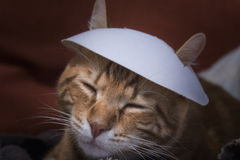 kinesisk kattunge Arkivbild