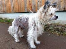 Kinesisk krönad hund på en koppel royaltyfria foton