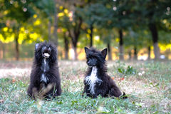 Kinesisk lurvig hund Royaltyfri Foto