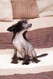 Kinesisk lurvig hund Royaltyfri Bild