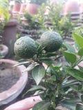 kinesisk orange royaltyfria foton