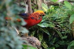 kinesisk pheasant Royaltyfri Foto