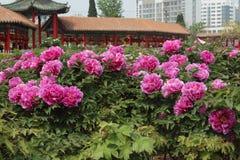 Kinesisk pionblomma Royaltyfri Fotografi