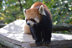 Kinesisk röd panda med en gullig framsida Arkivbilder