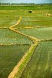 Kinesisk rislantgård Arkivbild