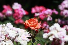 Kinesisk rose(Rosa chinensis Jacq ), Royaltyfri Bild