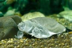 Kinesisk softshellsköldpadda Fotografering för Bildbyråer