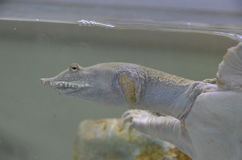 Kinesisk softshellsköldpaddaPelodiscus sinensis Royaltyfria Foton