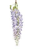 Kinesisk wisteria (Wisteriasinensisen) Arkivbilder