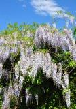 Kinesisk wisteria (Wisteriasinensisen) royaltyfri foto