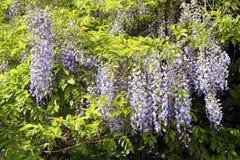 Kinesisk wisteria (Wisteriasinensisen) Fotografering för Bildbyråer