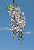 Kinesisk wisteria (Wisteriasinensisen) Arkivfoton