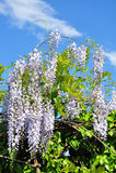 Kinesisk wisteriaWisteriasinensis Arkivbild