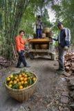 Kinesiska bönder lastar av korgar av apelsiner från en gammal lastbil Royaltyfria Bilder