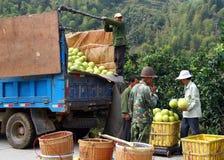 Kinesiska bönder som laddar skörden av den mogna pomeloen in i bilen Arkivbild
