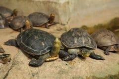 Kinesiska band-hånglade sköldpaddor har serier av det svarta gula bandet från huvudet som hånglar Asiatiska asksköldpaddor, gula  royaltyfri fotografi