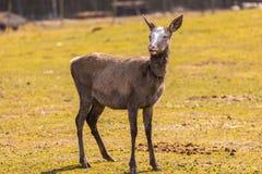 Kinesiska hjortar - Davids hjortar Royaltyfria Bilder